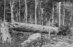 Keep in mind that artillery wasn't real effective on Culp's Hill - so this tree was shot down by bullets. This photo gives a dramatic example of how metal was flying through the air during this infantry fight.