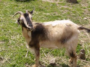 Goat at Plimoth Plantation Living History Village